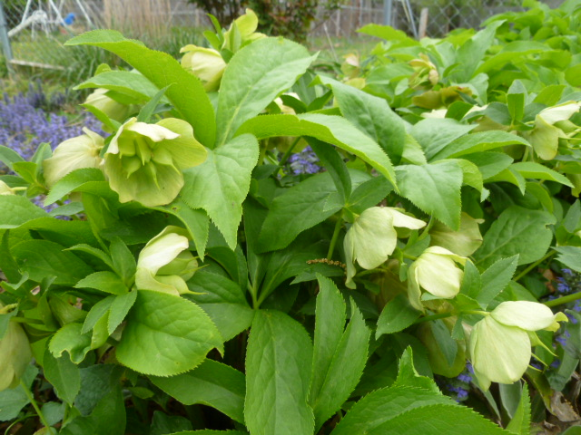 Hellebores in bloom.